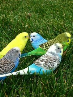 Parakeets of all colors.I thnk I have had one of all of these plus one pure white that I gave to my daughter.these are really not parakeets by proper name but Budgies Kinds Of Birds, All Birds, Cute Birds, Pretty Birds, Little Birds, Beautiful Birds, Budgie Parakeet, Parrot Bird, Cutest Animals