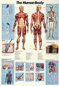 Anatomical Chart of the Human Body