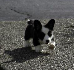 Known as the Corgi with the tail, the Cardigan Welsh Corgi is the older of the two Corgi breeds. Description from pinterest.com. I searched for this on bing.com/images