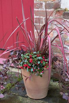 Pot for October colour: Phormium, Gaultheria and ivy. Layer Scilla siberica bulbs in the pot for spring colour. Photo by Sarah Cuttle. To see how to care for Gaultheria, visit here http://www.gardenersworld.com/plants/gaultheria-procumbens/3247.html