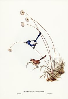 White-winged Wren (Malurus leucopterus) illustrated by Elizabeth Gould (1804–1841) for John Gould's (1804-1881) Birds of Australia (1972 Edition, 8 volumes). Digitally enhanced from our own facsimile book (1972 Edition, 8 volumes). | free image by rawpixel.com Bird Illustration, Illustration Artists, Botanical Illustration, Pichwai Paintings, Animal Paintings, Vintage Birds, Vintage Art, John Gould, Australian Birds