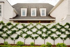 Pear Trees grown like vines on this brick wall. The brick wall is painted with Ralph Lauren Wash Basin