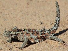 The thorny dragon or thorny devil (Moloch horridus) is an Australian lizard, also known as the mountain devil, the thorny lizard, or the moloch Reptiles And Amphibians, Mammals, Small Lizards, Maned Wolf, Blobfish, Desert Animals, Wild Animals, Unusual Animals, Exotic Animals