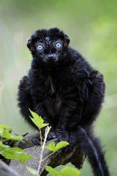 """""""The Blue-eyed Black Lemur (Eulemur flavifrons), from Madagascar, is restricted to a very small area of about 2,700 sq km in the north-west of the country and only a small total population remains.... Photograph: Alamy.."""""""