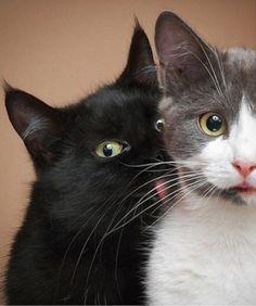 Un gato negro lamiendo a otro gato blanco con gris