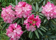 Southgate® Brandi Rhododendron produces abundant clusters of large ruffled deep pink to pink blooms. Garden Shrubs, Flowering Shrubs, Trees And Shrubs, Shade Garden, Tall Shrubs, Landscaping Shrubs, Small Evergreen Shrubs, Landscaping Ideas, Colorful Plants