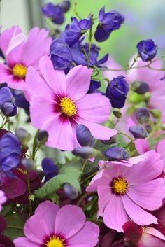 Cosmos bipinnatus Gloria - Far Out Cosmic Pink by Live Mulch - Groovy Ground Covers by Seed #cosmos #pink cosmos