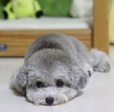 This puppy have beautiful grey color, and cute eyes