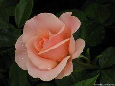 'Mrs. Iris Clow' Rose AKA Anne Hathaway Rose;  Iris Clow Rose; HARbrite Rose