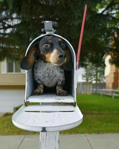 Dachshund Puppy: I'd like to find one in my mailbox!