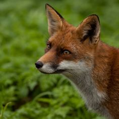 Red Fox by mgr-jo | Zoom.nl