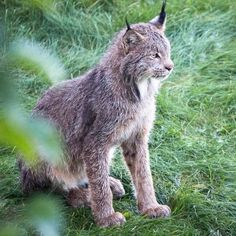 Talk about close encounters of the furred kind! A photographer in Alaskahad the experience of a lifetime when a mother lynx and her sevencubs wandered onto hi