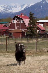 Musk Ox Farm. $9 admission.  And qiviut!!!