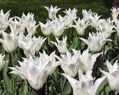 White Elegance Lily Flowering Tulip 10 Bulbs - 12/+ cm Bulbs