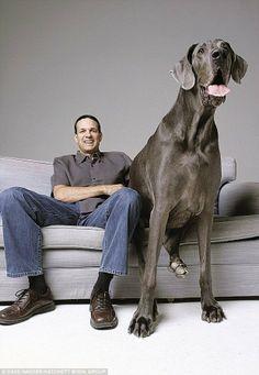 El perro más grande el mundo: Fotos de George, el increíble can que asombra con su tamaño   ZAYRA MO
