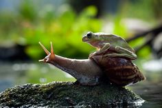 That's One Slooooooow Ride. Photographer Nordin Seruyan captured this amazing photo of a frog hitching a ride on a snail. Hope he's not going anywhere soon, that's one sweet but sloooooow ride! (Franklin and snail! Funny Frogs, Cute Frogs, Reptiles And Amphibians, Mammals, Beautiful Creatures, Animals Beautiful, Funny Animals, Cute Animals, Frog And Toad