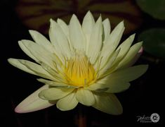 Five 5 Nature / Cream Waterlilies Photo Note Cards