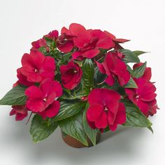 New Guinea Impatiens Florific Red Seeds | Harris Seeds