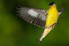 American Goldfinch poses for the camera