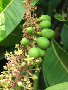 Mango - Wikipedia, the free encyclopedia