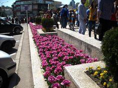 Strada Mare din  #Pitesti   devenită  mult prea mică pe parcursul desfășurării festivalului anual Simfonia Lalelelor