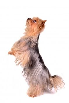 5 Tips for Training Your Yorkie, Responsibly