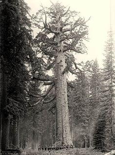 Cathedral Grove | Big Trees: Pictures & Politics | Big Trees as Curiosities All Nature, Nature Tree, Big Trees California, Old Pictures, Old Photos, Giant Tree, Old Trees, Unique Trees, Wow Art