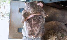 Meet Patrick, the world's oldest wombat.
