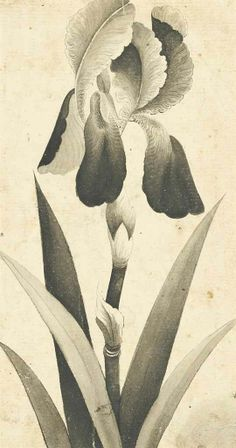 A Fine Drawing Of An Iris After Muhammad Hadi, Iran, Late 18th/early 19th Century