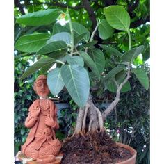 Plant nurseries in bangalore,Gift a plant online in bangalore,Buy plants online in bangalore,Send plants online in bangalore,Buy bonsai plants online in bangalore