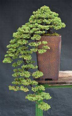 Cryptomeria Bonsai.