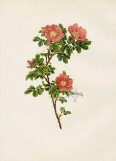 Ellen Willmott Genus Rosa 1914 - botanical print. - I love these simplest roses the most.