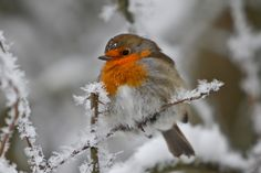 Rotkehlchen im Winter by Timo Haberl on 500px