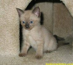 Tonkinese kitten this is what my cat looked like when he was a kitten.  Sooooo cute.