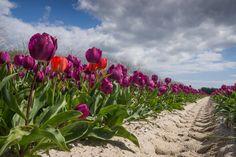 #Bretagne - Finistère : champs de tulipes à Plomeur © Paul Kerrien - Toilapol