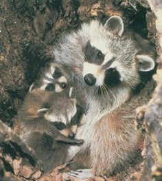 Raccoon family snuggling...