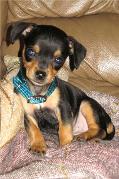 baby min pin ... yeah this belongs on this board. I *heart* @Tracy Noelle 's Sadie.