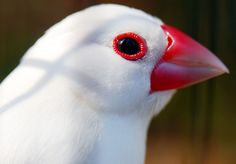 White java sparrow by floridapfe, via Flickr