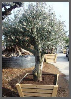Verzorging olijfbomen - citrusbomen - palmbomen | De Olijfgaard Potted Olive Tree, Potted Trees, Trees To Plant, River House, Go Outside, Garden Inspiration, Container Gardening, Garden Plants, Ibiza