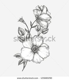 drawings of wild rose | Wild Rose Flower Drawing Wild rose - stock vector