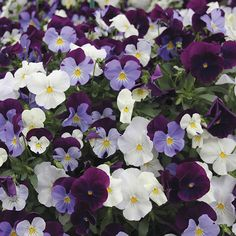 Pansy Cool Wave Berries 'n Cream Mixed F1 Plants & Hanging Baskets