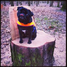 Don't take my picture mum!! #pugs #cute #missflo #dog #harness