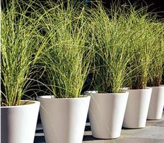 Matching pots planted with ornamental grass lend drama to a driveway or path.