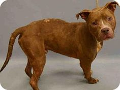 New York, NY - American Pit Bull Terrier Mix. Meet SMOKIE, a dog for adoption. http://www.adoptapet.com/pet/13467128-new-york-new-york-american-pit-bull-terrier-mix