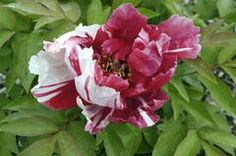 Shimanishiki tree peony (The one I have is actually Naniwanishiki, but it is very similar - slightly more pink than red.)
