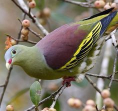 The thick-billed green pigeon is a species of bird in the Columbidae family. Wikipedia Scientific name: Treron curvirostra Rank: Species Higher classification: Green pigeon