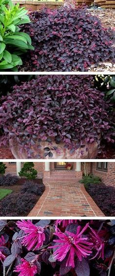 This article provides instructions and tips for planting a Purple Pixie Loropetalum (sunny front porch plants) Front Porch Plants, Outside Plants, Outdoor Plants, Outdoor Gardens, Purple Shrubs, Purple Flowering Plants, Flowering Shrubs, Garden Shrubs, Lawn And Garden