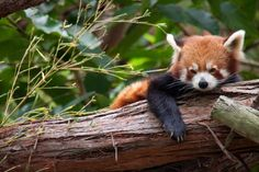 http://slodive.com/wp-content/uploads/2012/02/red-panda-pictures/red-panda-staring.jpg