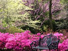 Within the next 5 weeks the Southern Azaleas should be in heavy bloom like these and the Eastern Redbud trees should be blooming by then too. Southern Landscaping, Backyard Landscaping, Backyard Ideas, Landscaping Ideas, Garden Ideas, Eastern Redbud Tree, Dream Garden, Home And Garden, Garden Oasis