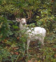 Albino whitetail deer.  Photo credit: Dan Schmidt...can you imagine seeing one of these in person!?!